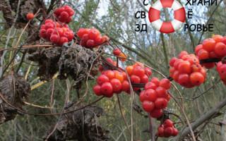 Адамов корень: полезные свойства и противопоказания, применение