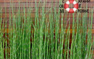 Хвощ полевой. Его лечебные свойства и применение