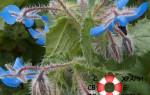 Бораго (огуречная трава) — применение, полезные свойства и противопоказания