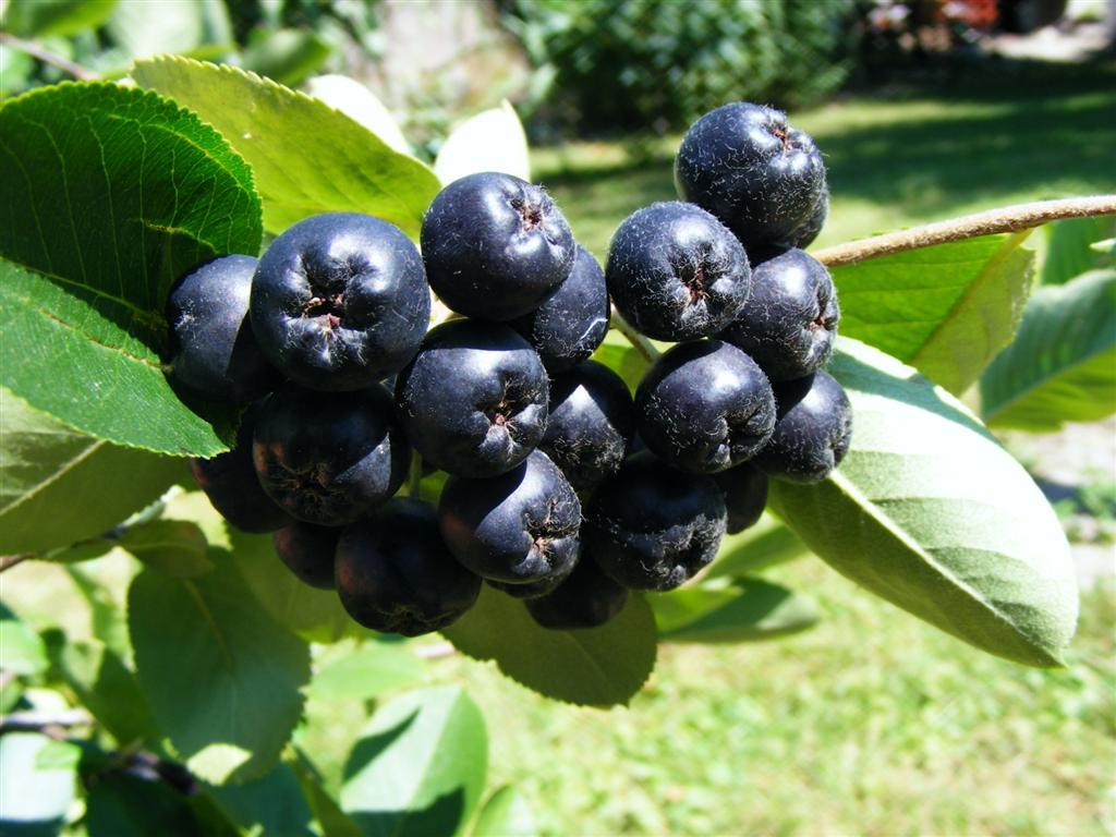 Черноплодная рябина. Фото
