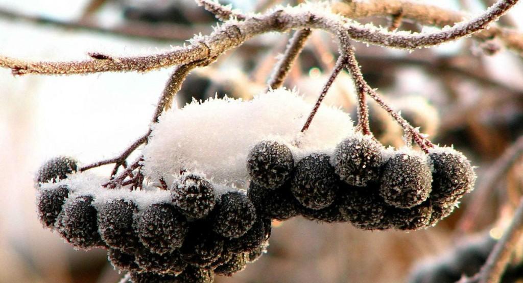 Черноплодная рябина - заготовки на зиму