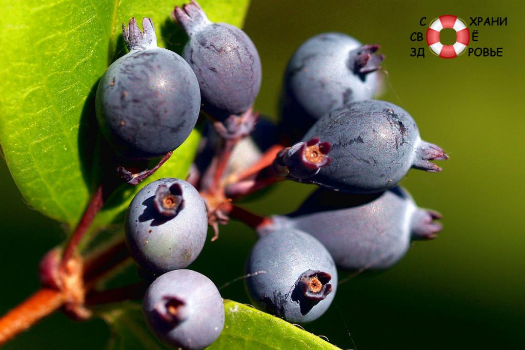 Ирга - ягода, полезная для здоровья и вкусная для желудка
