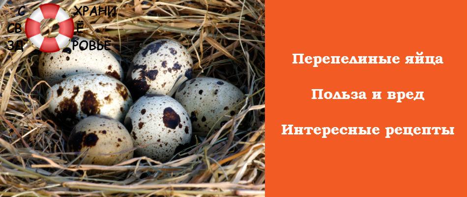 Перепелиные яйца. Чем они полезны?