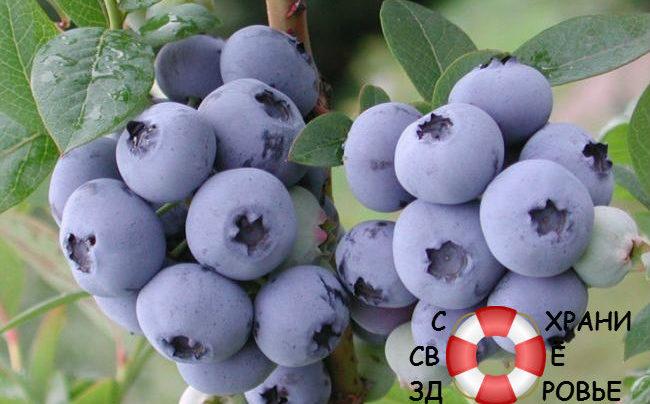 Голубика. Полезные свойства таёжной ягоды