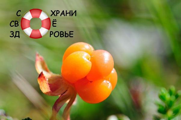 Морошка — полезные свойства северного апельсина