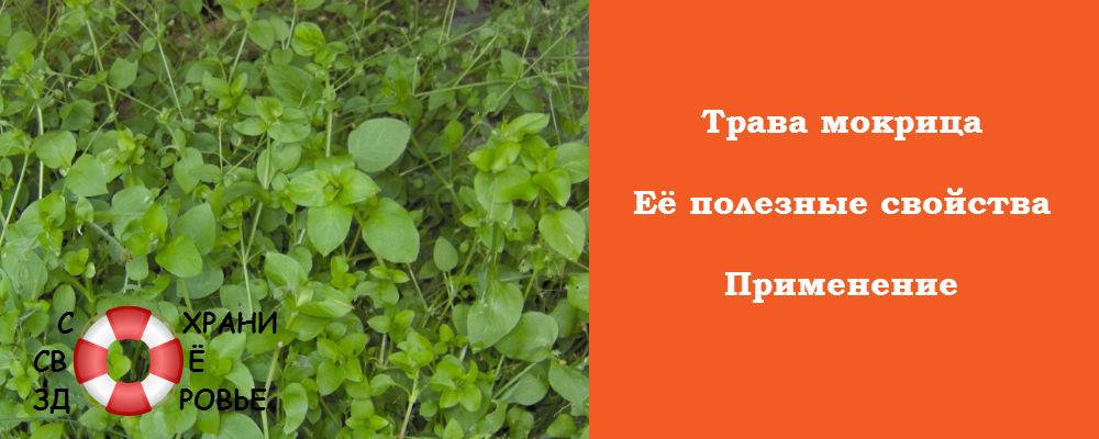 Фото травы мокрицы