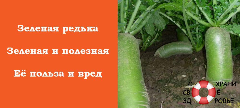 Фото зеленой редьки