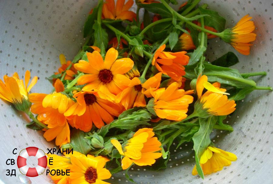 Календула и её цветки