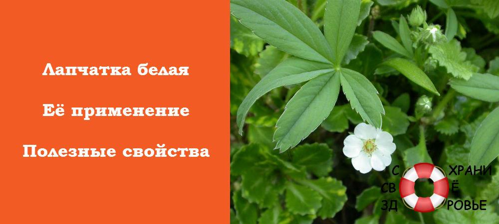 Фото лапчатки белой