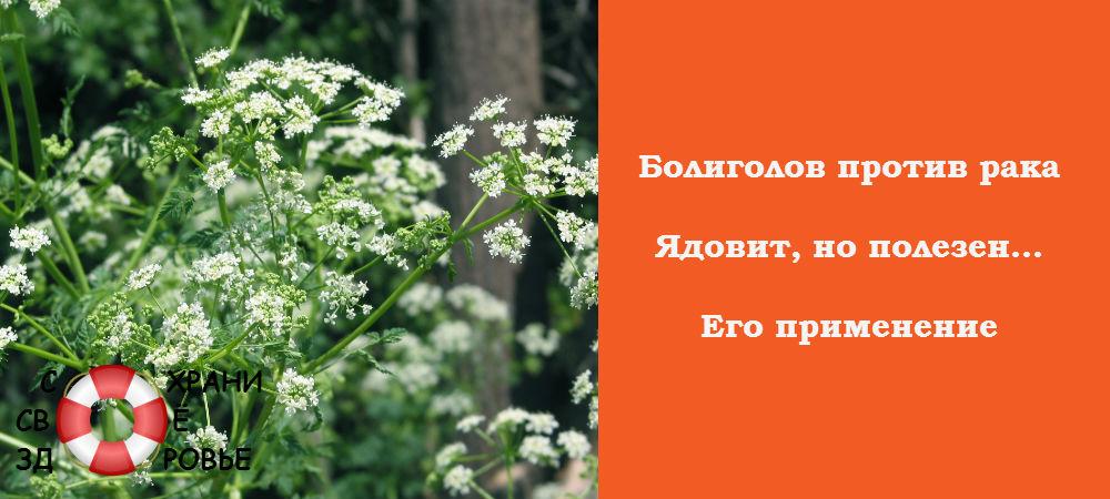 Фото болиголова