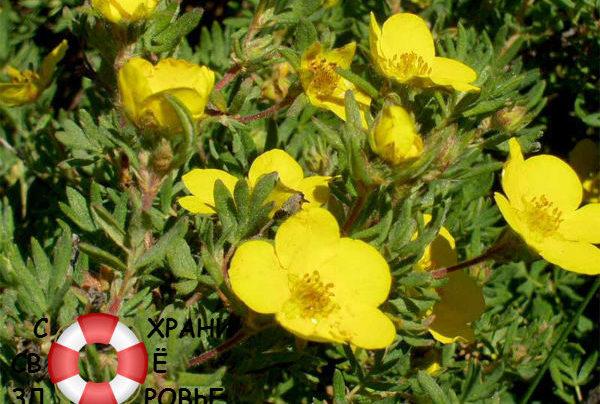 Курильский чай: лечебные свойства и противопоказания еще не ставшей японской травы