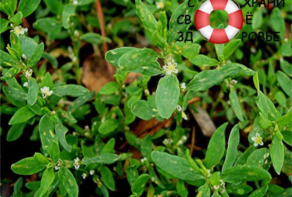 Спорыш: трава-мурава против бесплодия