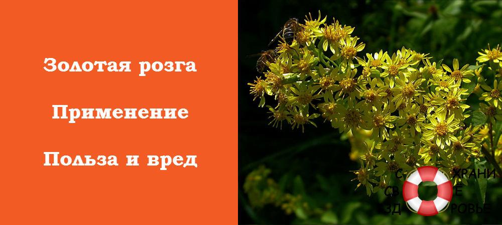 Фото золотарника обыкновенного