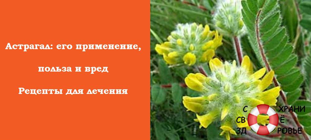Астрагал: фото
