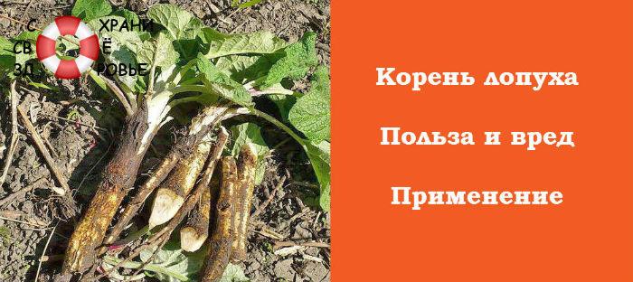 Фото корня лопуха