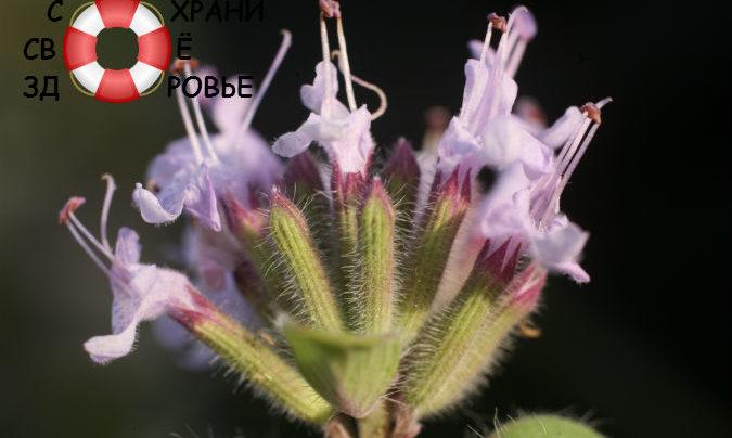 Зизифора — её полезные свойства и противопоказания