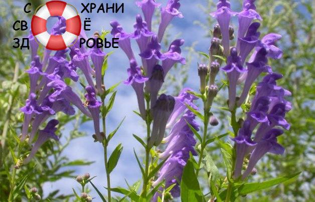 Шлемник байкальский: его лечебные свойства и противопоказания