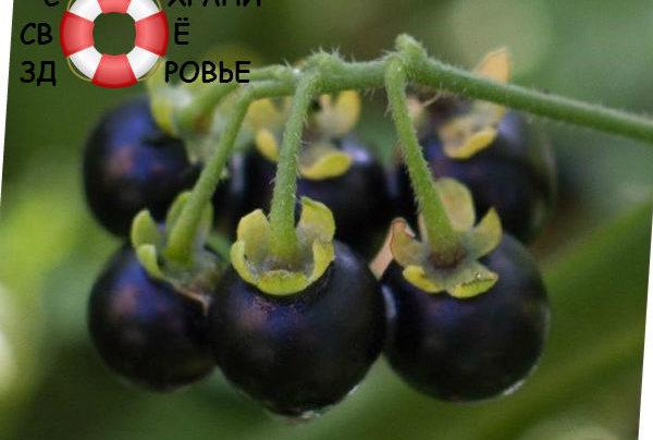 Санберри: полезные свойства и противопоказания садового паслена