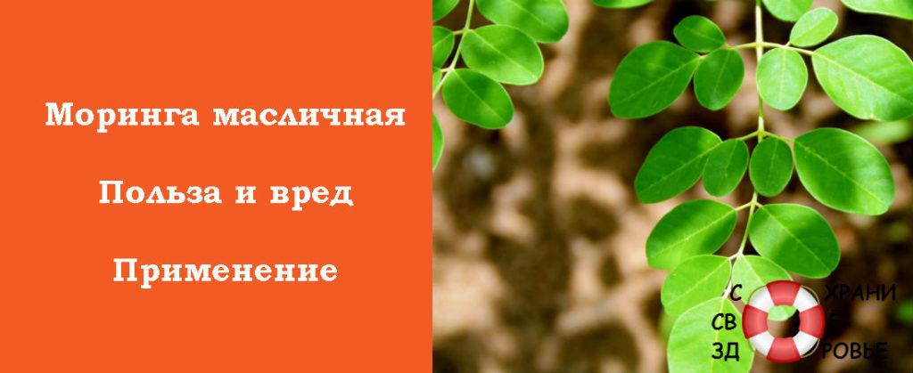 Польза и вред моринги масличной