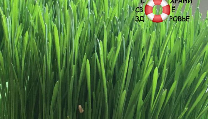 Витграсс: полезные свойства и применение пшеничного напитка
