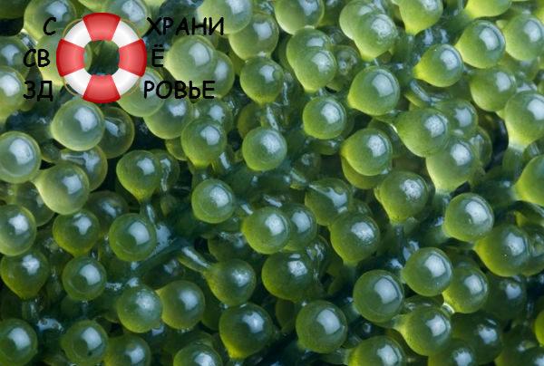 Морской виноград — полезные свойства и применение японской водоросли