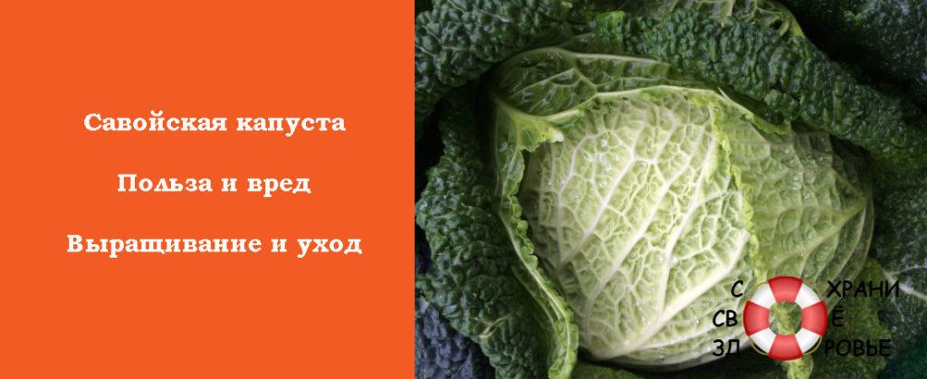 Польза савойской капусты