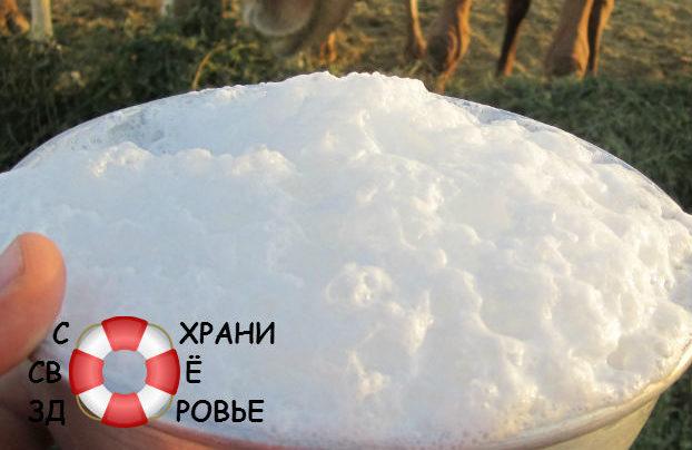 Верблюжье молоко: его польза и вред