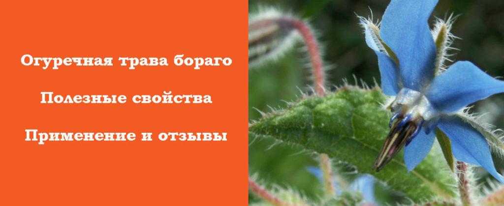 Полезные свойства огуречной травы