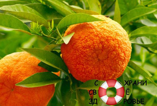 Померанец: полезные свойства и противопоказания, применение горького апельсина