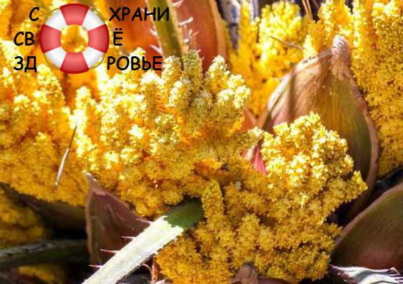 Пальмовая пыльца, её применение и полезные свойства
