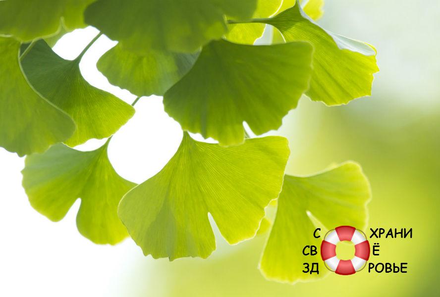 Зеленые листья гинкго билоба