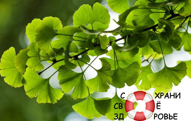 Гинкго билоба: применение, полезные свойства и противопоказания