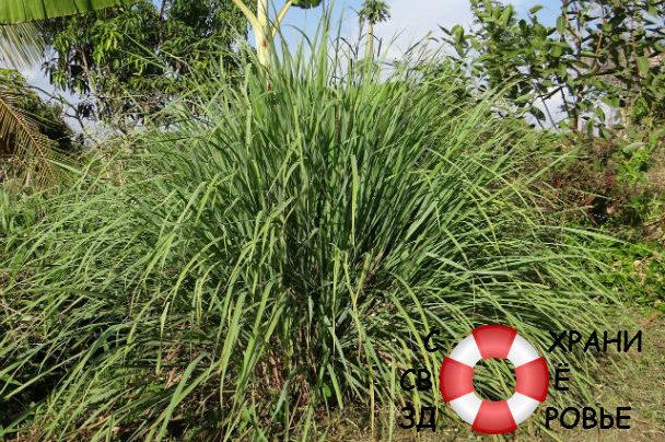 Лимонная трава — полезные свойства, противопоказания и применение цитронеллы