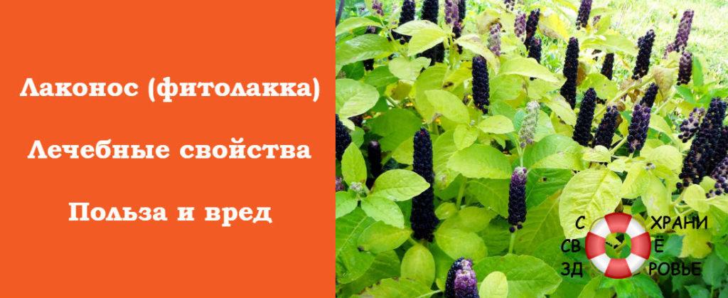 Фитолакка: фото